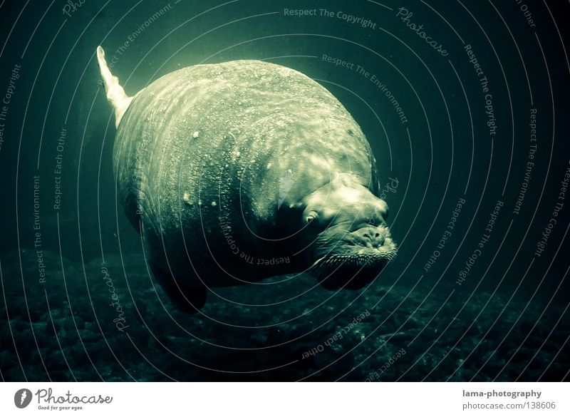 1 ton of lightness Sea lion Seals Cape fur Seal Harbour seal Dive Glide Hover Whale Breathe Air bubble Ocean Body of water Bottom of the sea Relaxation To enjoy