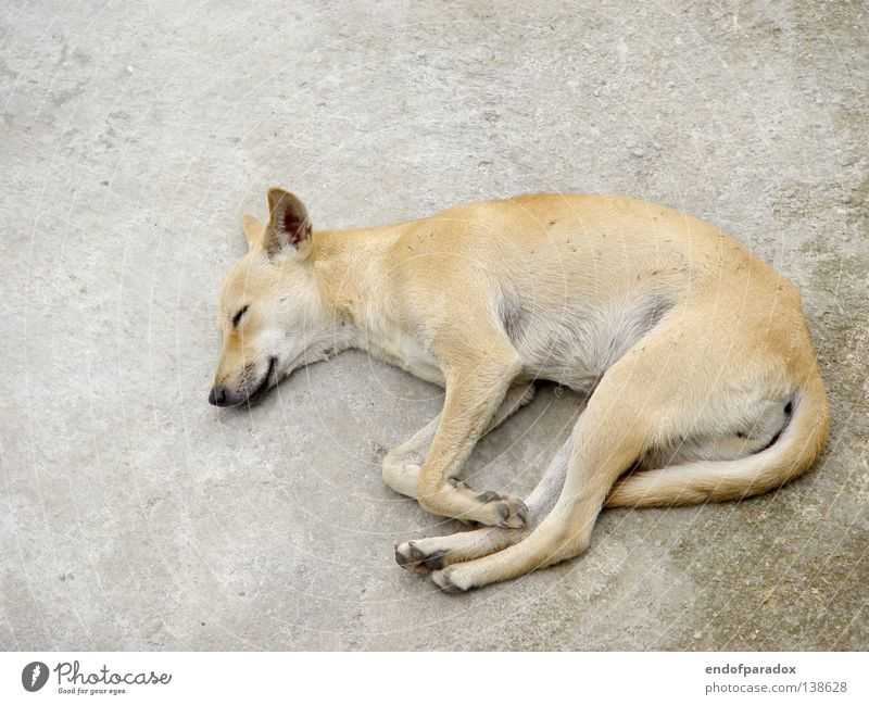 dog Sleep Siesta Doze Break Withdraw Dog Animal Pet Crossbreed Shabby Derelict Dirty Concrete White Gray Asia Mammal Boredom Peace lazy Lie Fatigue Comfortable