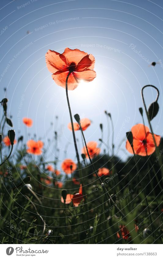 The bee and the flower Flower Plant Grass Meadow Field Blade of grass Blossom Poppy Blossom leave Insect Bee Back-light Lighting Sky Nature Sun Bud Shadow