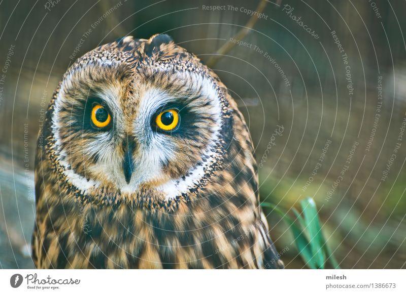 Short Eared Owl Close-up Animal Bird Animal face 1 Observe Wild Brown Yellow Gray White Wisdom Curiosity Wildlife avian Beak carnivorous eyes Vision Feather