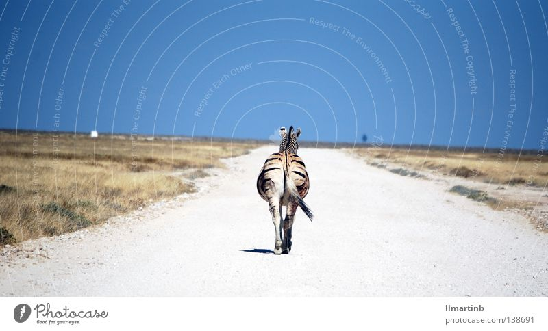 alone Zebra Africa Steppe Animal Zebra crossing Striped Pattern Loneliness Death Lanes & trails Desert Landscape