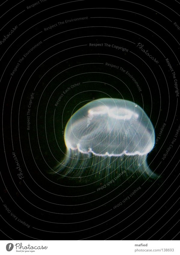 fiat lux Jellyfish Hover Ocean White Black Dark aurelia aurita medusa nettle threads Water phosphorescent Illuminate Aphotic Isolated Image Dark background