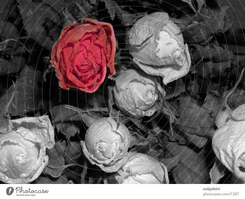red rose Rose Flower Nature Plant