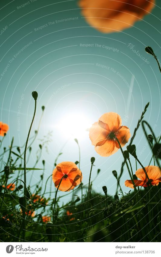 A new day Flower Plant Grass Meadow Field Blade of grass Blossom Poppy Blossom leave Insect Bee Back-light Lighting Sky Nature Sun Bud Shadow Orange