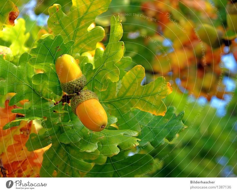 Nature Plant Green Tree Leaf Autumn Fruit Branch Twig Seed Botany Nut Autumnal colours Sowing Deciduous tree Oak tree