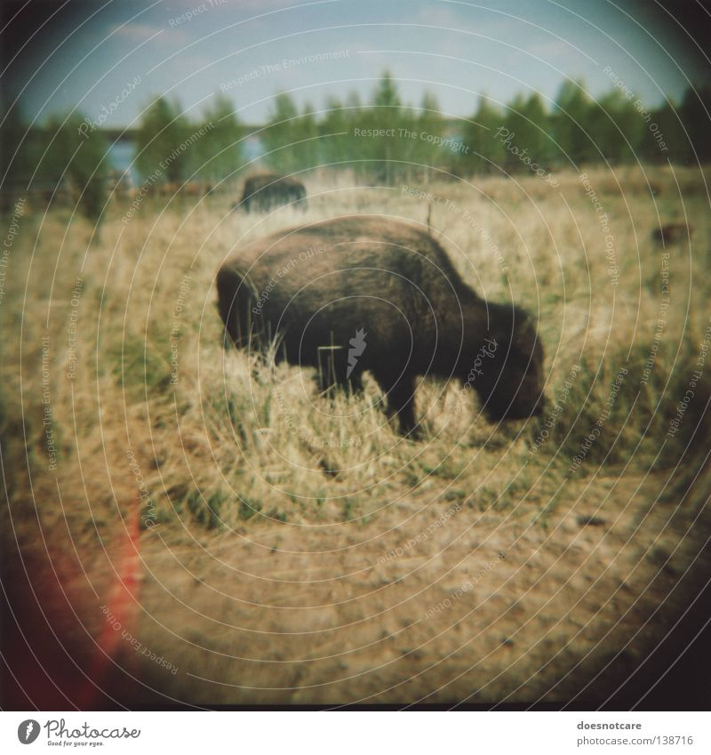 UrVieh. (Return of the Repressed.) Beautiful Old Leipzig To feed Mammal Lomography Antlers Medium format Vignetting Cattle Lens flare Buffalo Wild West
