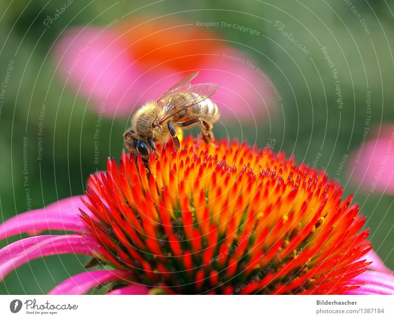Nature Plant Beautiful Summer Flower Blossom Natural Pink Orange Wild animal Wing Insect Bee Botany Daisy Family Pollen
