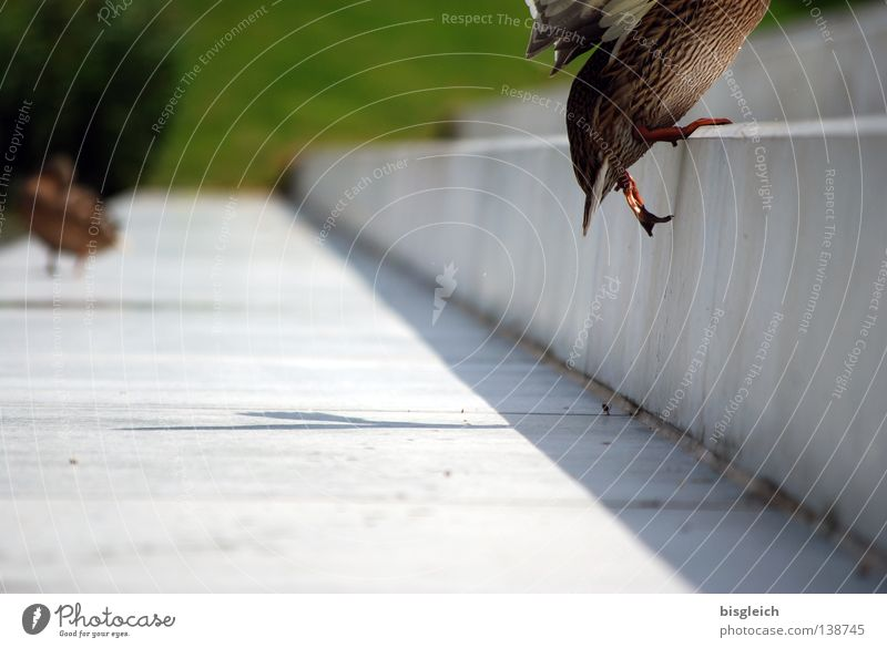 Joy Animal Jump Bird Going Animal foot Stairs Upward Staircase (Hallway) Duck Sporting event Competition Stride Headless Domestic duck