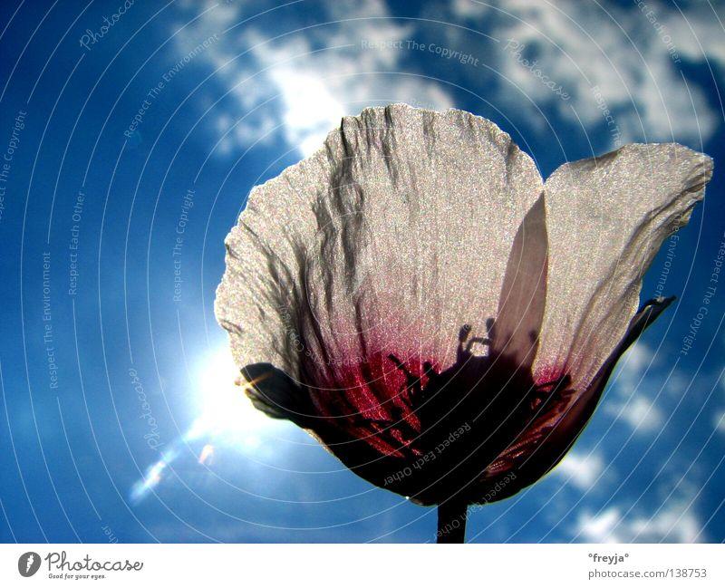 opium Opium poppy Poppy Flower Healthy papaver somniferum linné Sun Blue Shadow chandu Offion aphim poust