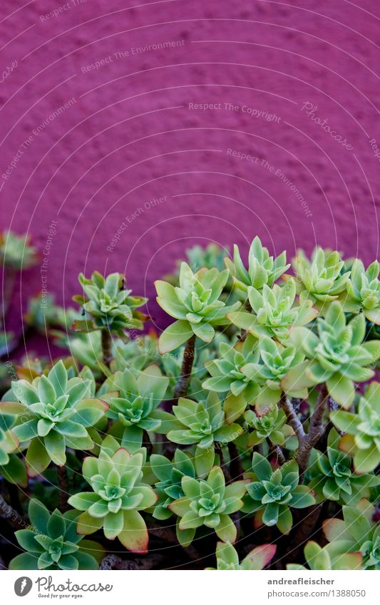 succulent Nature Plant Summer Cactus Exotic Garden Life Succulent plants Wall (building) Pot plant Growth Green Pink Purple Structures and shapes Point