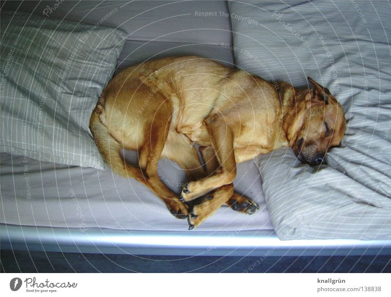 sleeping beauty Dog Crossbreed Dream Brown Beige Sleep Fatigue Relaxation Doze Siesta Bed Bedclothes Duvet Sheet Closed eyes Switch off Favorite place Oversleep