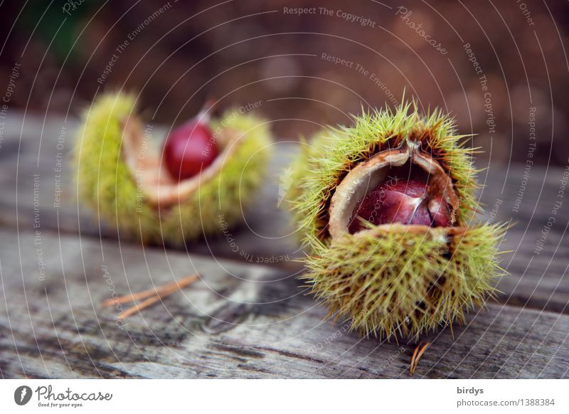 chestnuts Food Sweet chestnut Nutrition Organic produce Healthy Eating Autumn Wild plant Seed head Fruit Wood Esthetic Fresh Natural Original Positive Thorny