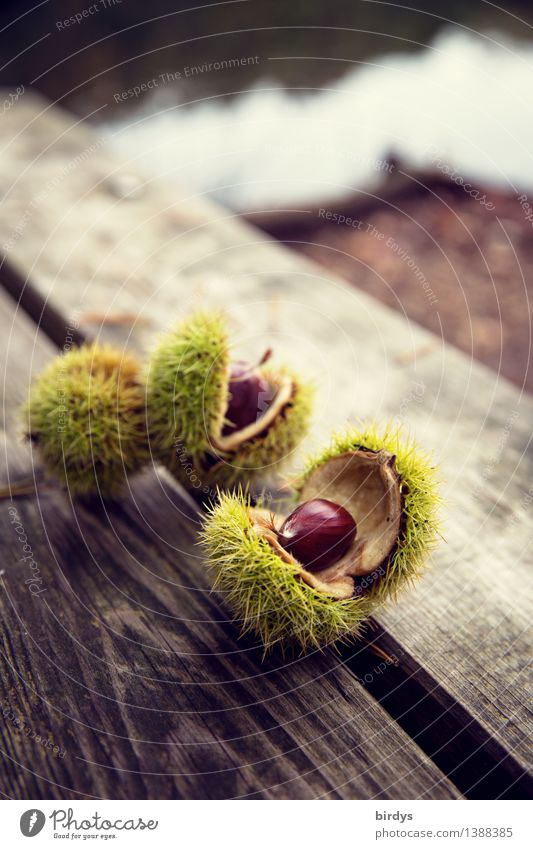 Fruits of the forest Food Sweet chestnut Nutrition Organic produce Healthy Eating Autumn Wild plant Seed head Wood Esthetic Fresh Natural Original Positive