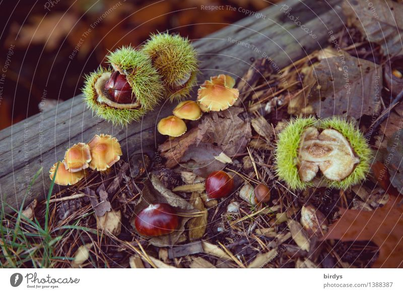 forest fruits Food Mushroom Sweet chestnut Nutrition Organic produce Nature Autumn Wild plant Forest fruit Autumn leaves Wood Esthetic Healthy Natural Positive