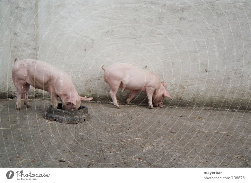 Nutrition Pink Farm Agriculture Mammal Swine Farm animal Keeping of animals