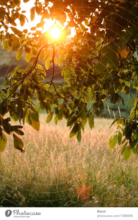 country summer Nature Landscape Plant Sunrise Sunset Sunlight Summer Beautiful weather Tree Grass Leaf Meadow Green Romance Idyll Common walnut Country life