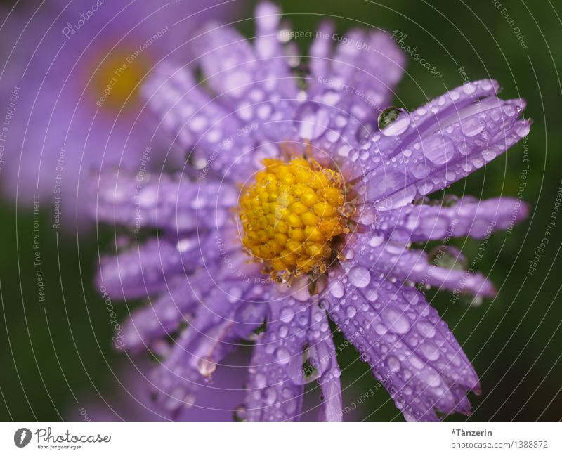 Autumn weather I Nature Plant Elements Water Drops of water Weather Bad weather Rain Flower Blossom Aster Garden Meadow Esthetic Fresh Wet Natural Beautiful