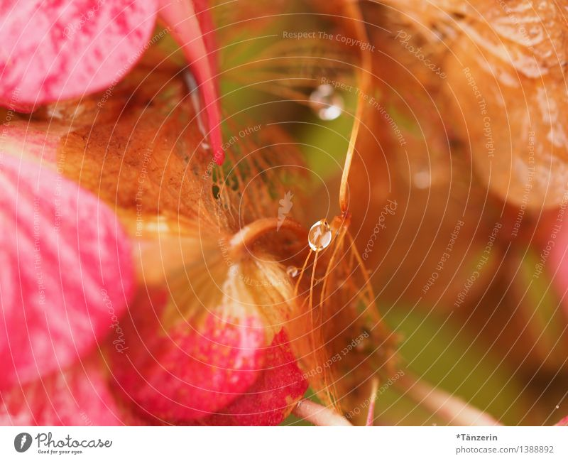 Dew drops, not quite in the middle Nature Plant Elements Drops of water Autumn Blossom Hydrangea blossom Garden Park Esthetic Fresh Natural Beautiful Soft Pink