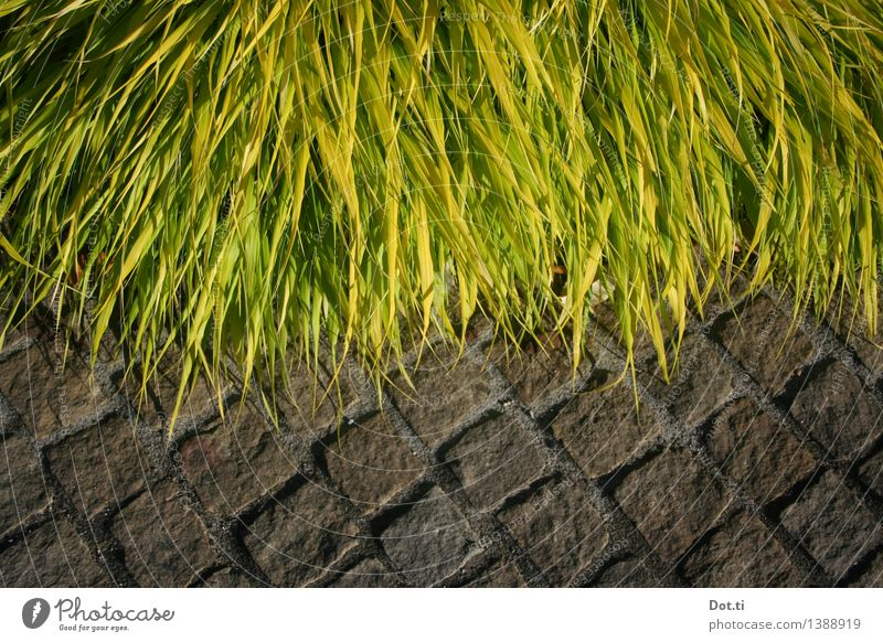 Edge greened II Nature Plant Grass Garden Park Lanes & trails Stone Green Lush Cobblestones Wayside encroaching Overgrown rampant Colour photo Exterior shot