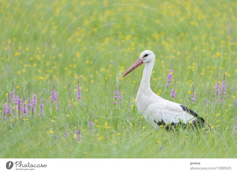 stork's eye Environment Nature Landscape Animal Spring Summer Beautiful weather Grass Meadow Field Wild animal Bird 1 Green Stork Stork village Linum