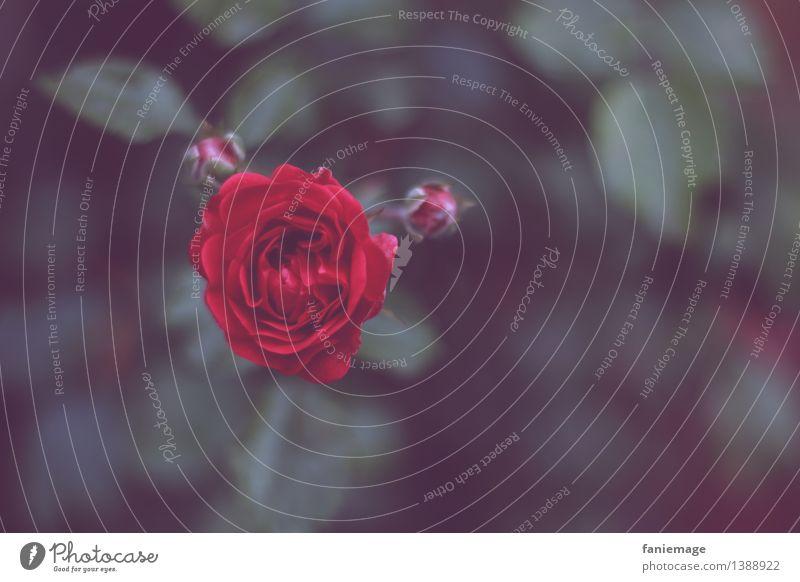 Nature Plant Beautiful Red Dark Black Love Autumn Garden Park Esthetic Romance Rose Kitsch Bud Fairy tale