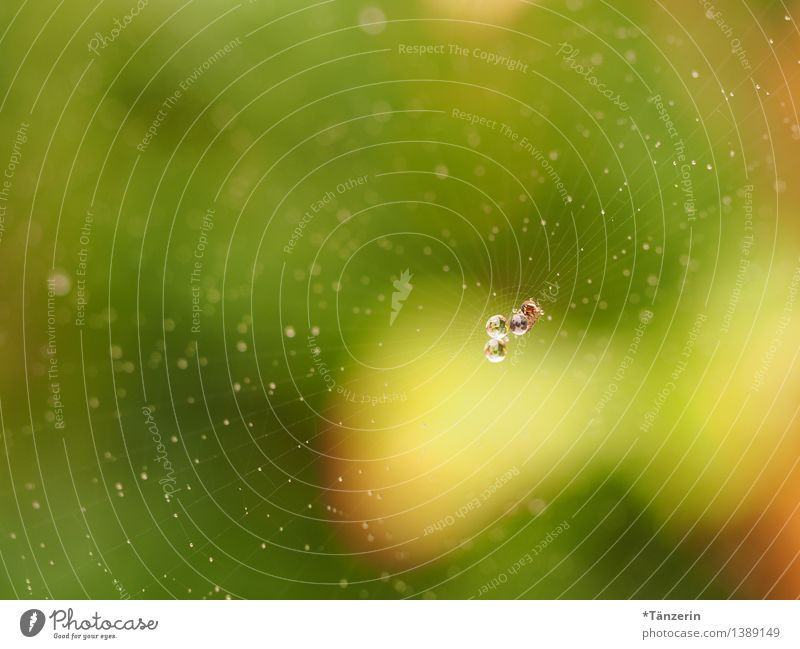Pearls in net IV Environment Nature Elements Drops of water Animal Spider 1 Esthetic Fresh Wet Natural Positive Beautiful Yellow Green Spider's web Dew