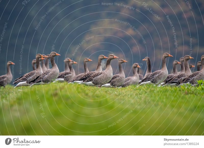 grey geese Environment Nature Landscape Plant Animal Climate Weather Beautiful weather Tree Grass Meadow Field Hill Lakeside River bank Farm animal Wild animal