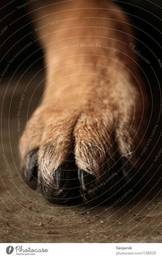 pedicure Paw Dog Wolf Claw Brown Pelt 4 Weapon Wilderness Concrete floor Stone Near Grrr Wig Macro (Extreme close-up) Close-up Mammal cat hunter cat-hater