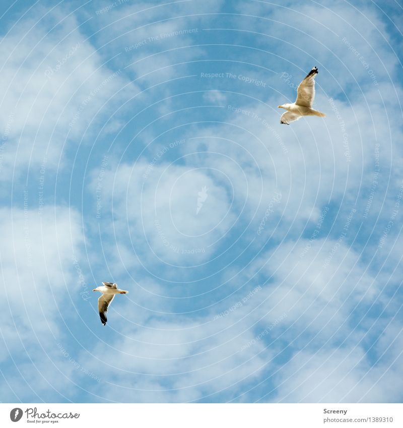 Überholm's Gull Nature Plant Animal Air Sky Clouds Summer Beautiful weather North Sea Bird Seagull 2 Flying Tall Maritime Blue White Freedom Colour photo