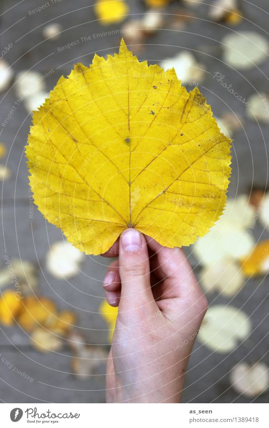 gold Infancy Life Hand Fingers Environment Nature Plant Earth Autumn Leaf Autumnal Autumn leaves Autumnal colours Lime leaf Lime tree To hold on Illuminate
