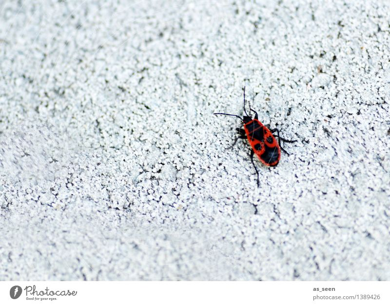 fire bug Environment Nature Animal Wall (barrier) Wall (building) Facade Beetle Insect Firebug Bug 1 Crawl Bright Small Red Black White Exotic Colour