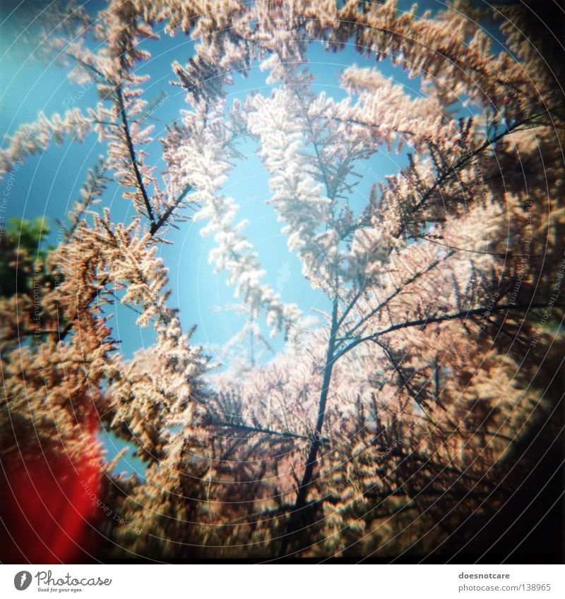 the burning bush. (sommer im herzen.) Tree Plant Summer Spring Blossom Pink Bushes Blossoming Blue sky Pollen Twigs and branches Vignetting Light leak