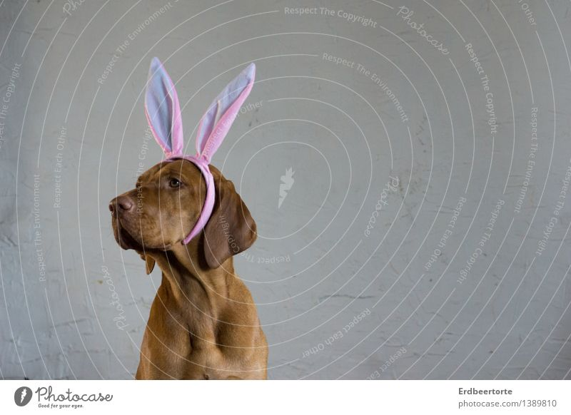 be all ears Carnival Easter Animal Pet 1 Funny Cute Brown Carnival costume Hare & Rabbit & Bunny Watchfulness Vizsla Colour photo Subdued colour Interior shot