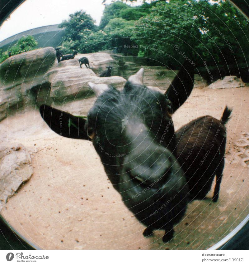 berta, the nanny-goat. Animal Pet Black Goats Antlers Mammal Lomography Wide angle Fisheye He-goat Barn Elapse Looking Looking into the camera Deserted