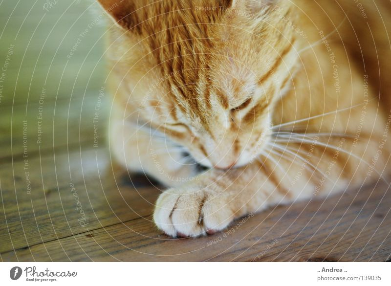 Red Tiger 11 Pelt Cat Wood Cleaning Sadness Dirty Friendliness Green Grief Whisker Mammal tigi Domestic cat mietzi putty whiskers mackerelled Nose Colour photo