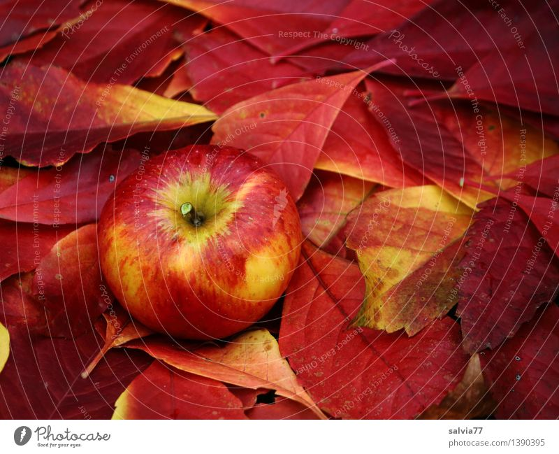 Well camouflaged Food Fruit Environment Nature Autumn Plant Leaf Autumnal colours Apple Fresh Healthy Good Delicious Natural New Positive Round Sweet Soft