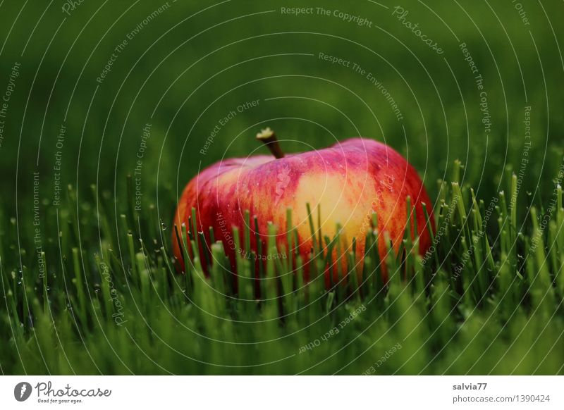 Apple in the green Food Fruit Nature Animal Earth Autumn Grass Foliage plant Meadow Illuminate Lie Fresh Healthy Delicious Positive Juicy Sweet Green Orange Red