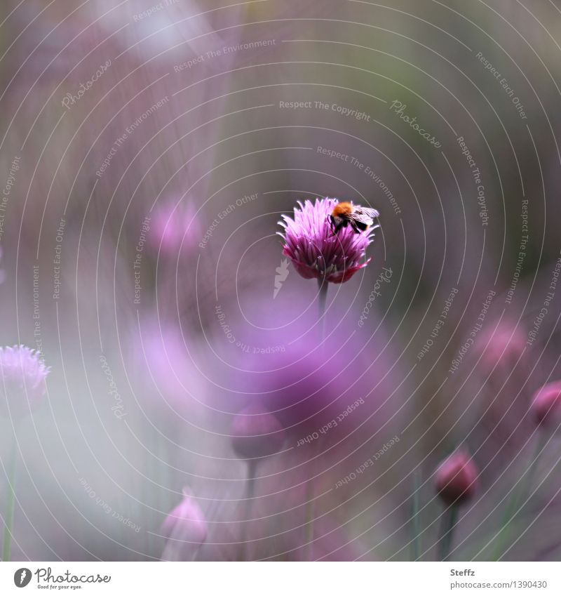 Nature Plant Beautiful Summer Calm Blossom Gray Garden Moody Pink Idyll Blossoming Romance Violet Bee Summery