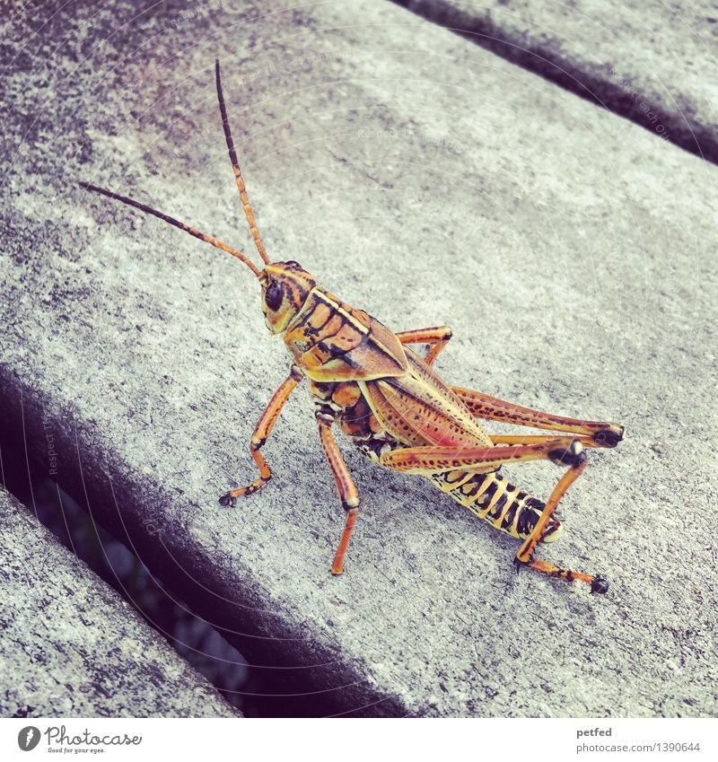 The Gropper - (Grashopper) Summer Animal Locust 1 Crawl Sit Small Speed Brown Yellow Black Adventure Bizarre Climate Nature Footbridge Wetlands Colour photo