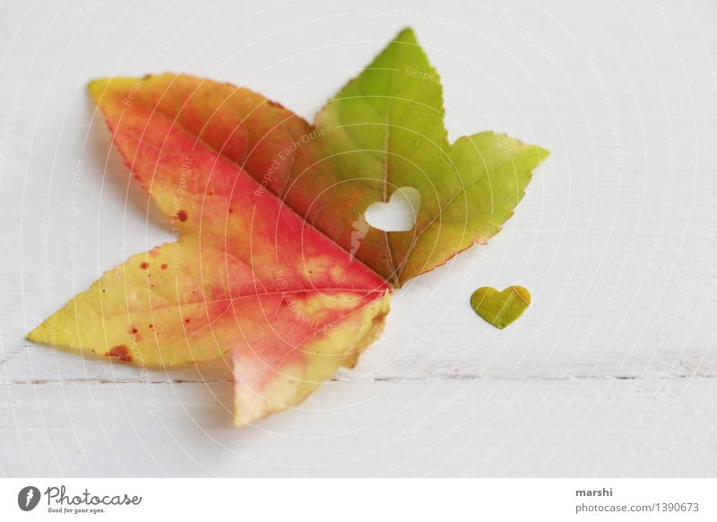 colourful heart Nature Plant Leaf Emotions Heart Love Autumn Autumnal Maple tree Multicoloured Isolated Image Infatuation love in autumn Seasons Colour photo