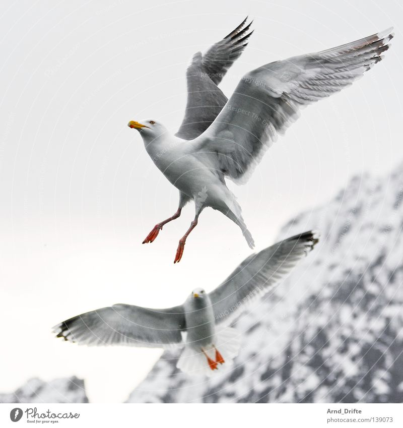Sky White Ocean Cold Snow Mountain Ice Bright Bird Flying Feather Seagull Norway Animal Fjord Arctic Ocean