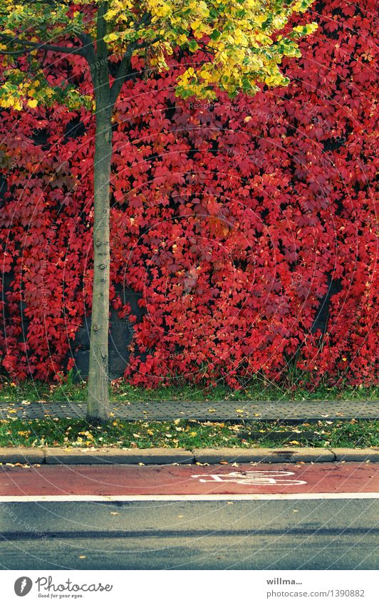 autumn triathlon Autumn Tree Virginia Creeper maiden vine Lime tree Autumnal colours Cycle path Footpath Traffic lane Yellow Red Colour photo Exterior shot