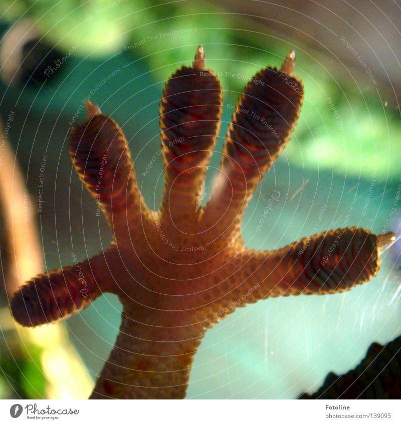 Blue Hand Green Plant Feet Brown Glass 5 Window pane Toes Fingernail Reptiles Gecko Saurians Iguana Fingerprint