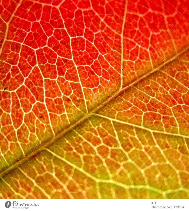AutumnLeaf II Beautiful Nature Plant Tree To fall Green Red Transience Autumn leaves Seasons Photosynthesis Vessel Gaudy Prison cell Maze Offense Sarah Kasper