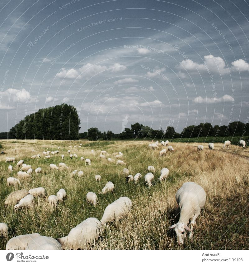 Nature Summer Animal Landscape Meadow Grass Multiple Group of animals Many Idyll Agriculture Pasture Herdsman Sheep Attachment Americas