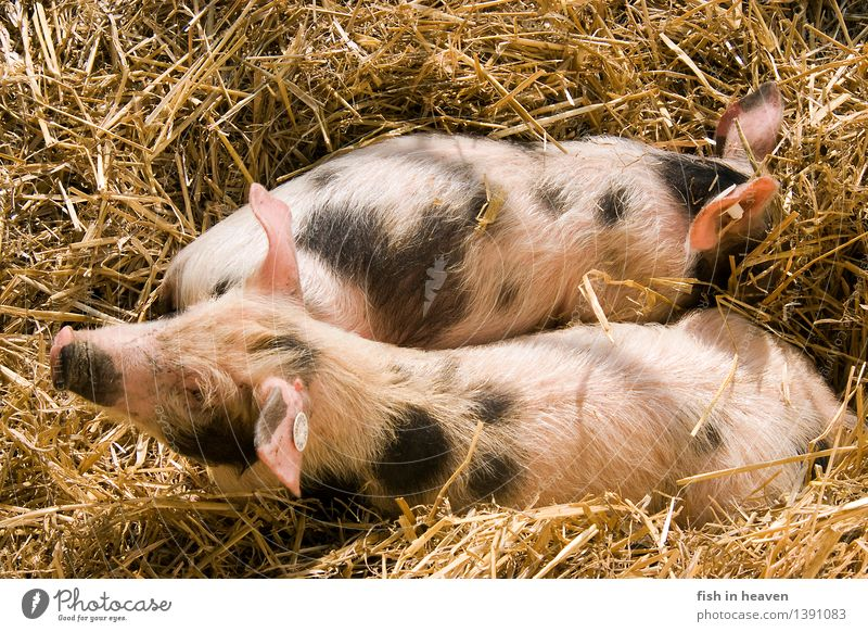 Colourful piglets from Bentheim in straw Agriculture Forestry Nature Animal Swine 2 Baby animal Growth Love of animals Responsibility Piglet