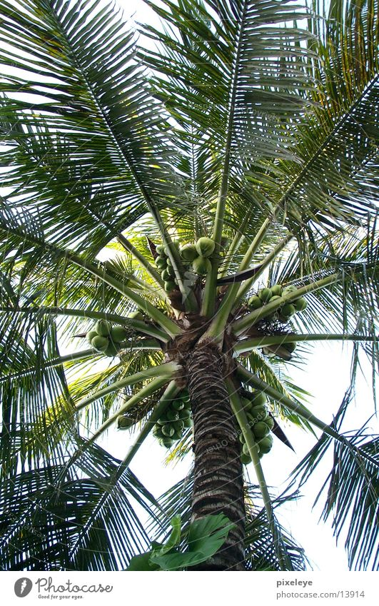 Leaf Palm tree Nut Coconut