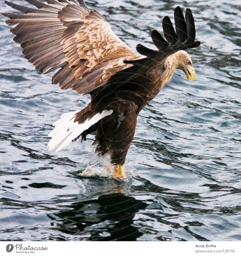 touchdown Norway Catch To feed Large Cold Coast Majestic Ocean Arctic Ocean Lake White-tailed eagle Bird Waves Eagle Feather Fjord Flying Aviation Bird of prey