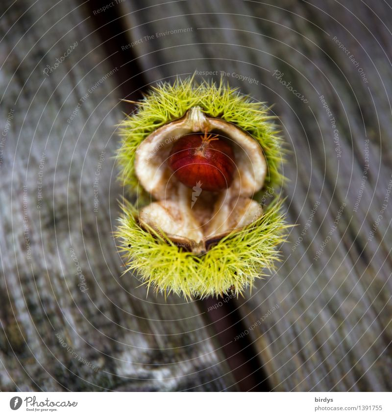 well-developed Food Fruit Sweet chestnut Seed head Nutrition Organic produce Plant Autumn Wild plant Wood Esthetic Natural Positive Thorny Brown Yellow Gray