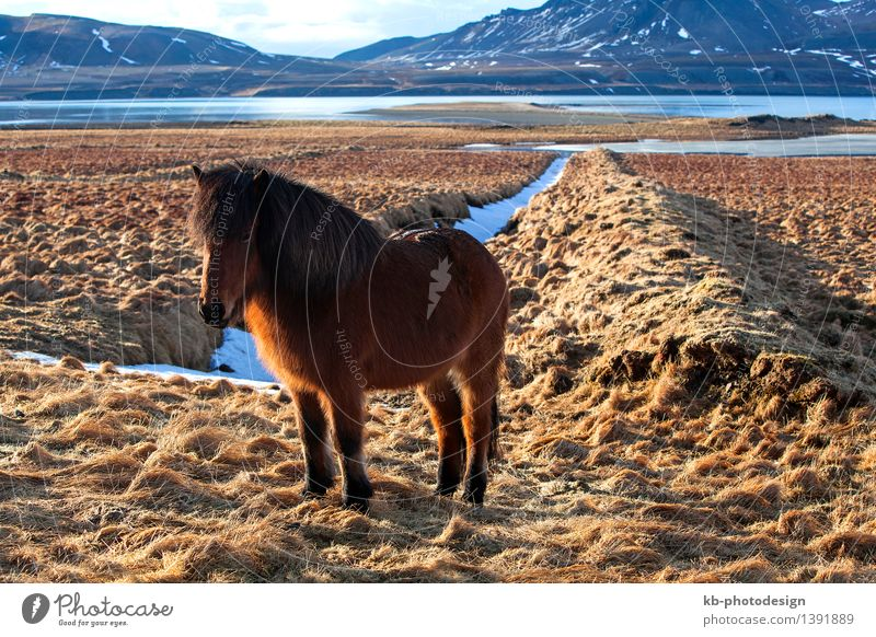Brown Icelandic pony on a meadow in Iceland Vacation & Travel Tourism Adventure Far-off places Mountain Winter Wild animal Horse 1 Animal Iceland pony brown
